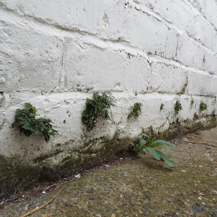 A rather unusual photo. This picture shows vegetation growing from a the installation holes of a  previous retrofit chemical injection damp proof course, how strange........ Exactly what implies we'll find out during our internal inspection.