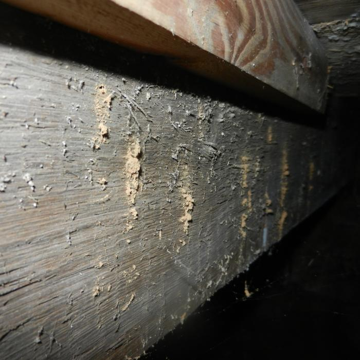 View beneath a suspended timber floor with an active woodworm infestation. Here you can clearly see the frass deposits left over by the adult beetles as the chew their way through to the surface of the timber from the pupil chamber with one sole purpose in mind, to find a mate and reproduce.